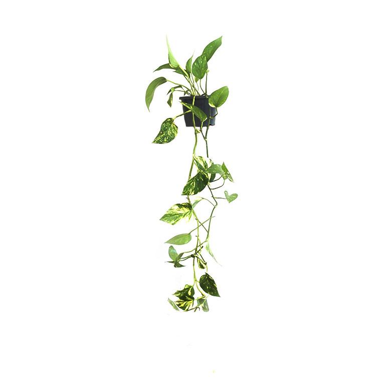 Devils-Ivy-Climber-2